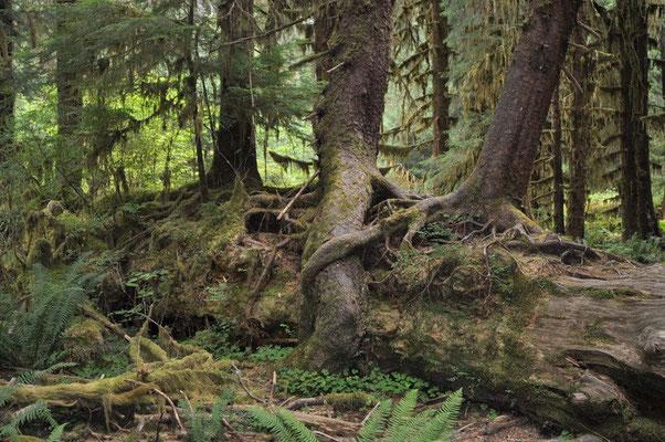 Spaziergang durch den Hoh Regenwald