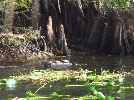 Schildkröten wo man hinsieht