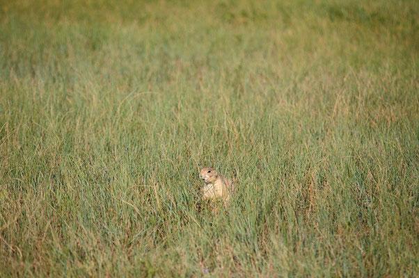 Präriehund im Badlands National Park