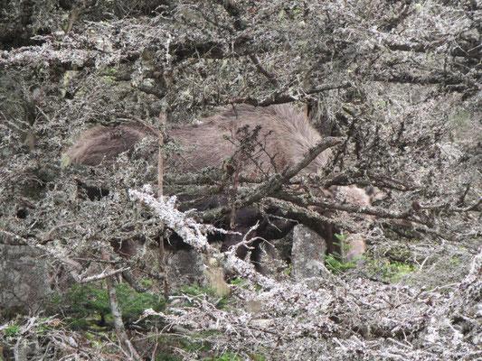 Elchmännchen