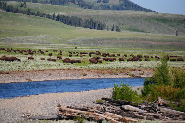 Yellowstone National Park - Bison Herde