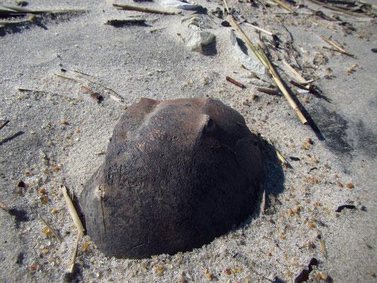 ...teil 2 der Horseshoe Crab