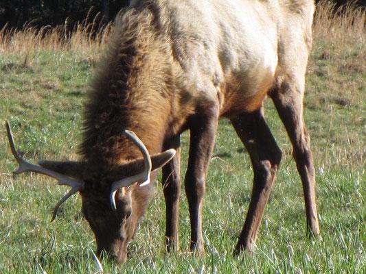 Wapiti oder auf English Elk