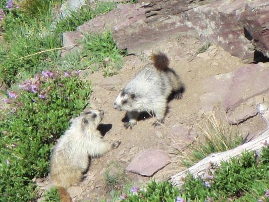Marmots - auch Mini Grizzlies genannt