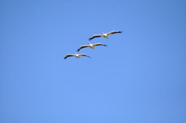 Pelikane im Patrouille Suisse Anflug