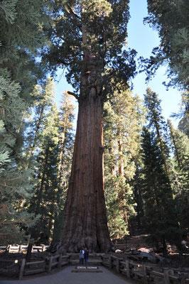 Der grösste Baum der Welt: uns sieht man kaum