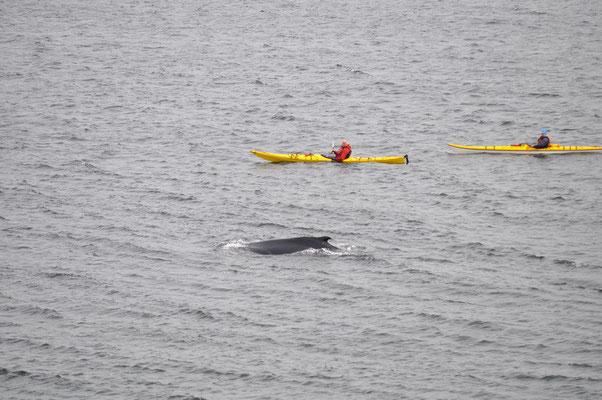 """Wale mit Kajaker """"gefährlich"""" nahe"""