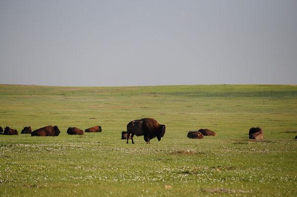 Bison im Badlands National Park