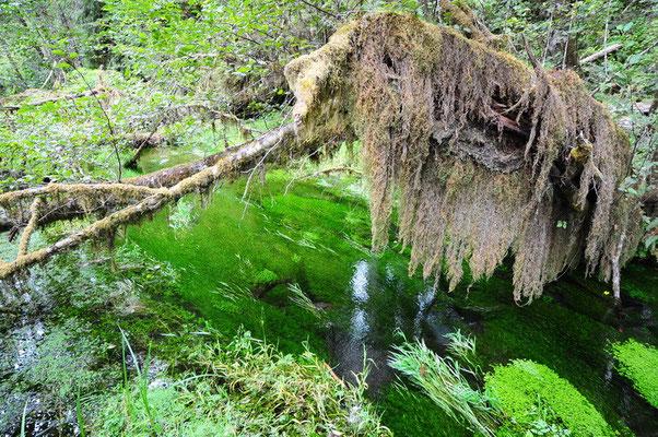 Olympic National Park - Hoh Regenwald