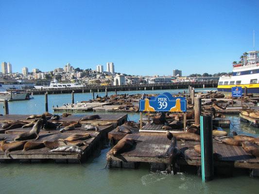 Die bekannten Seelöwen am Pier 39