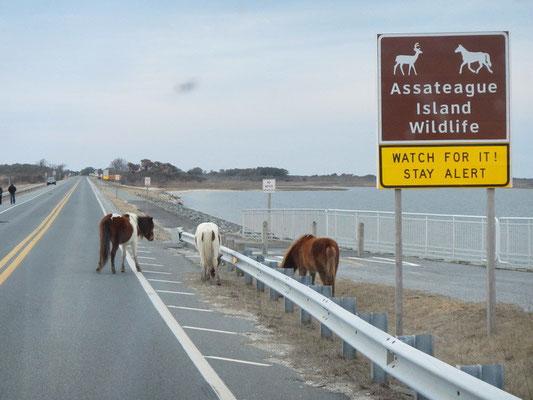 Und hier sind schon die wilden Pferde