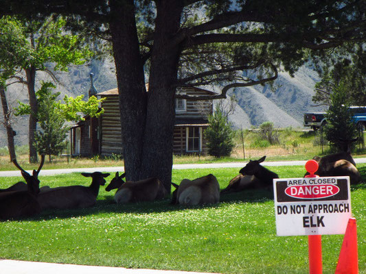 Yellowstone National Park - Wapitis haben einen Platz gefunden :)