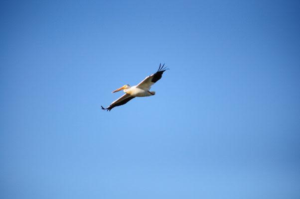 Pelikan in Action