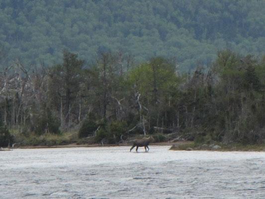 Elch im Wasser - Gros Morne National Park - Western Pond
