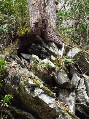 Baum wächst auf Fels