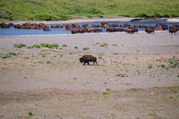 Yellowstone National Park - Bisons im Wasser
