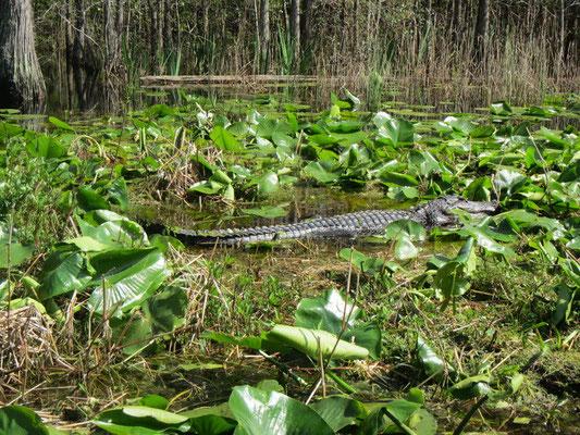 und nochmals ein Alligator