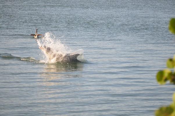 Delfine beim Jagen