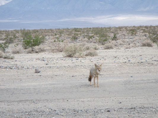 ...Kojoyte in Death Valley