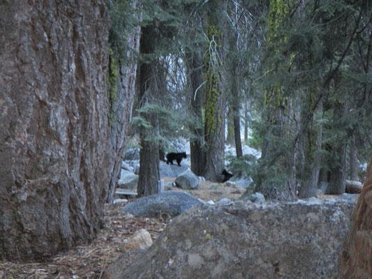 Die Bärenmutter versteckte ihre Jungen hinter unserer Campsite