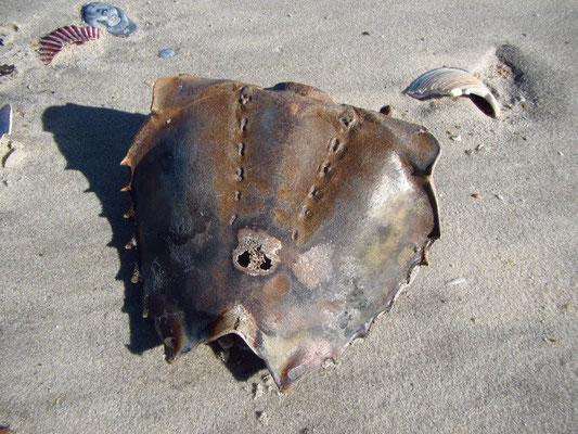 Gestrandeter Horseshoe Crab