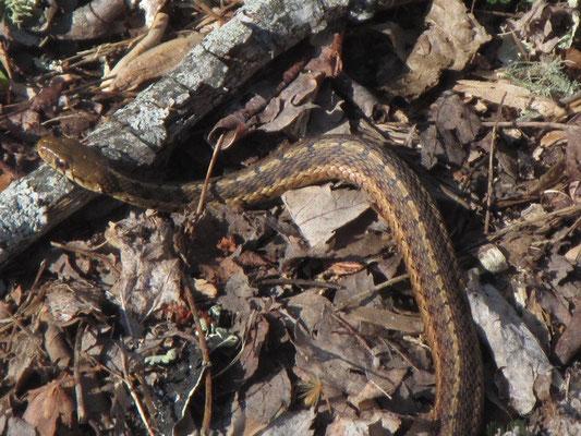Erste wilde Schlange gesichtet