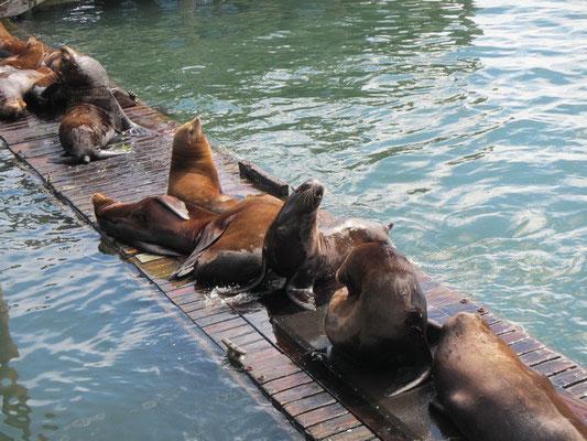 Seelöwen an der Bayfront in Newport