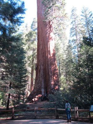 Sequoia Bäume