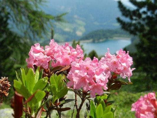 Almrosen am Aufstieg zur Höchster Hütte im Ultental