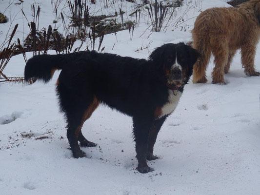 So viel Schnee ringsum, Selma jedoch findet das Schlammloch :-)