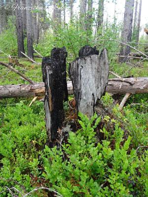 Der Wald ist noch gezeichnet von Bränden, die hier im Moor vor einigen Jahren gewütet haben.