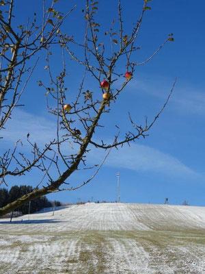 Die letzten Äpfel hängen noch am Baum...