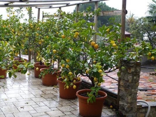 Limonen in Limone :-)
