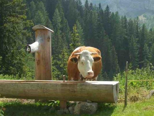 Kein Berner - eine Kuh :-)