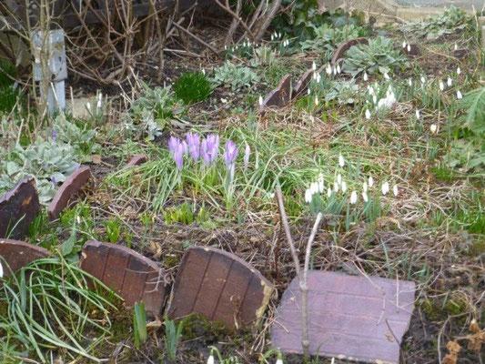 In einem Vorgarten zeugen Schneeglöckchen und Krokusse vom nahenden Frühjahr