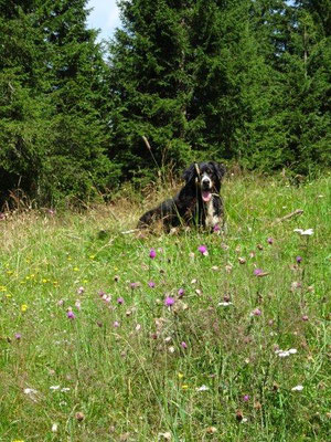 Blühende Bergwiesen an der Laureiner Alm