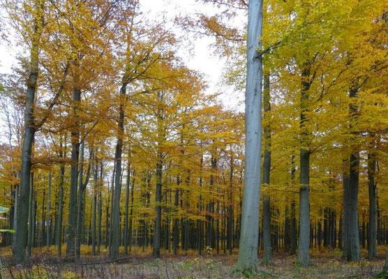 Wie hier am Fuße des Bärensteines findet man Buchenwälder häufig auch an anderen Basaltbergen