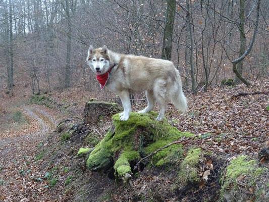Sogar Wölfe gab es im Wald :-)