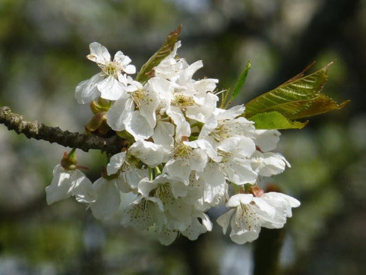 Obstblüte bei Ottendorf