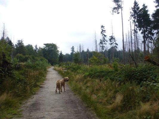 Teile des Fichtenwaldes wurden durch Borkenkäfer beschädigt