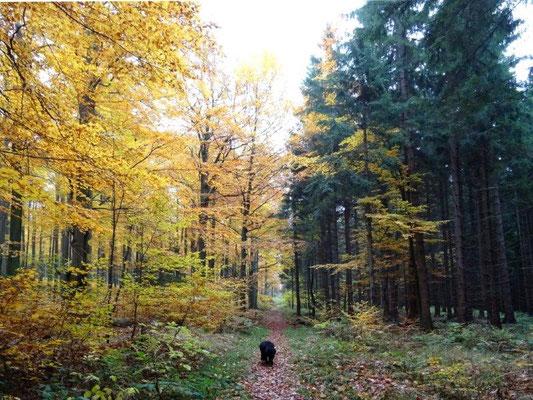 Buchen- und Fichtenwald, nur durch den Wanderweg getrennt