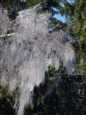 Die Zweige der Birke haben Kälte und Wind in einen klirrenden Kronleuchter verwandelt