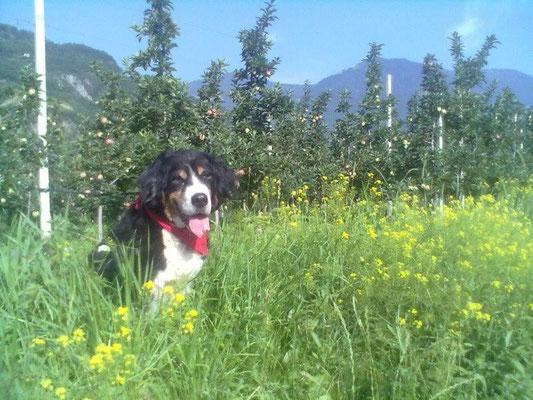 Die 13jährige Senta in den Apfelplantagen bei Lana