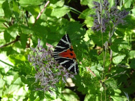 Auffällig viele dieser Schmetterlinge gibt es hier - Russischer Bär oder auch Spanische Flagge genannt