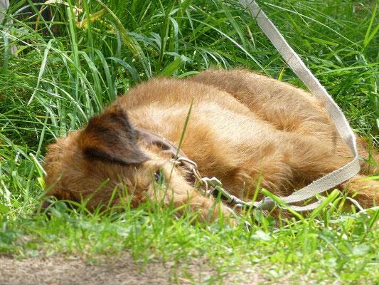 Sogar Terrier können schlafen