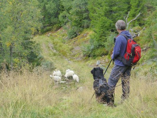 Überall freilaufende Schafe - eine Herausforderung für unseren Jungspund :-)