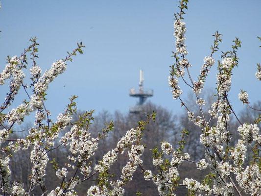 Blühende Obstbäume vor dem  Varhošť