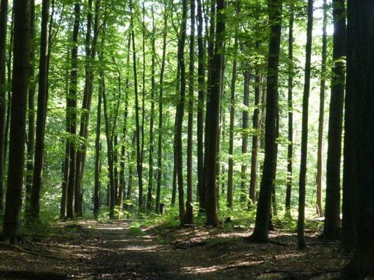 Auf dem Großen Winterberg trifft man einen der größten Buchenwaldbestände Sachsens an