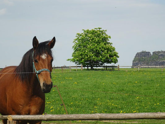 Pferdekoppel in Reinhardtsdorf