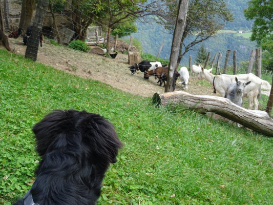 Selma und die Ziegen